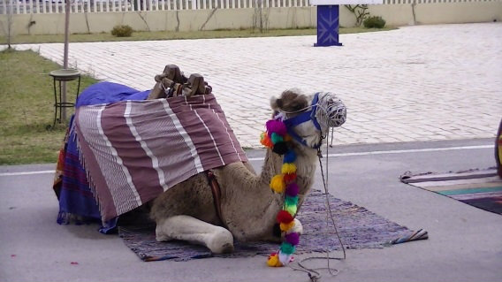 camel-parking-only